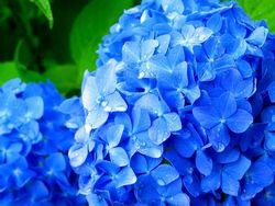 紫陽花6月の花.jpg